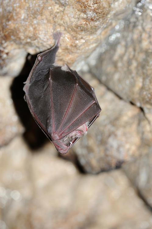 Lesser Horseshoe Bat, (Rhinolophus hipposideros), National Park Piatra Craiului, Transylvania, Southern Carpathians, Romania