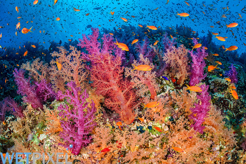 A colourful coral reef wall, with orange scalefin anthias (Pseudanthias squamipinnis) swarming over red, pink and orange soft corals (Dendronephthya hemprichi, Dendronephthya klunzingeri and Scleronephthya sp.) in a current. Ras Mohammed National Park, Sinai, Egypt. Red Sea