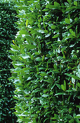 Laurus nobilis - bay as hedge.