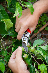 Thinning apples -  Malus domestica - removing some early fruit to encourage larger crops