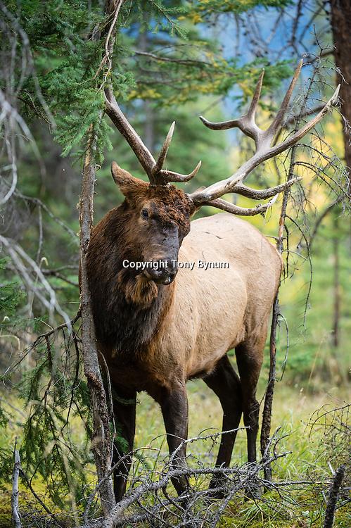 bull elk in fall timber colors