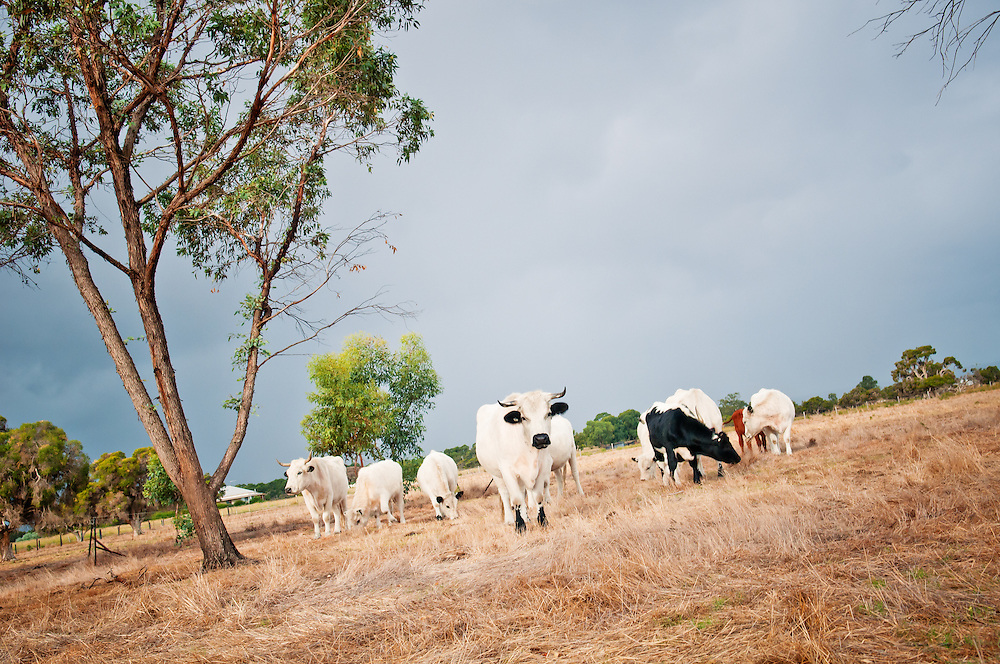 Pictures of white park cattle in Western Australia near Perth by farming photographer Ioan Said