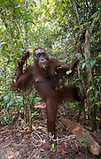 A female adult Bornean orangutan with child emerges from the forests of Tanjug Putin National Park in Indonesia.
