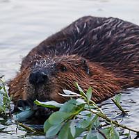 A beaver (Castor canadensis) in Jordan Pond munches on freshly cut vegetation, Acadia National Park, Maine.