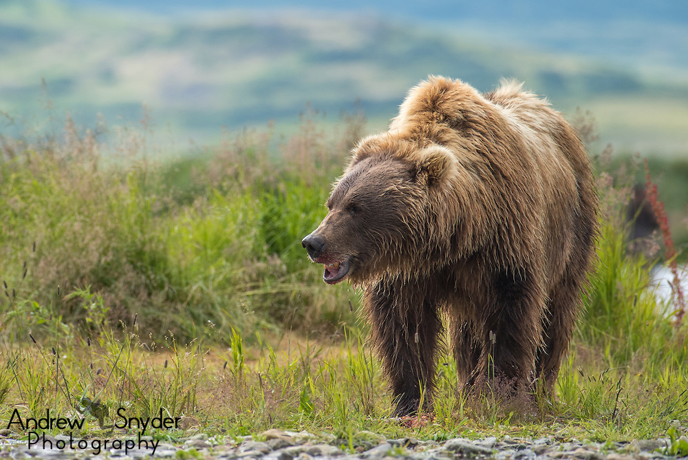 Coastal brown bear (Ursus arctos) - Katmai, Alaska
