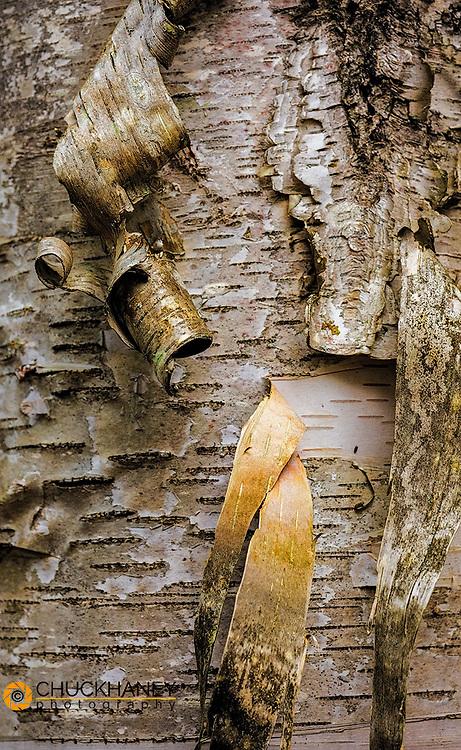 Birch bark curl in Pictured Rocks National Lakeshore, Michigan, USA