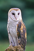 """Barn Owl (Tyto alba)  18"""" owl with large white heart-shaped facial disk and dark eyes.  Found in open farmlands, grasslands, deserts and suburbs."""