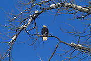 Bald Eagle, Winter, Snow, Chilkat River, Haines, Alaska