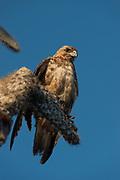 Galapagos Hawk (Buteo galapagoensis)<br /> Santa Fe Island<br /> Galapagos<br /> Ecuador, South America<br /> ENDEMIC