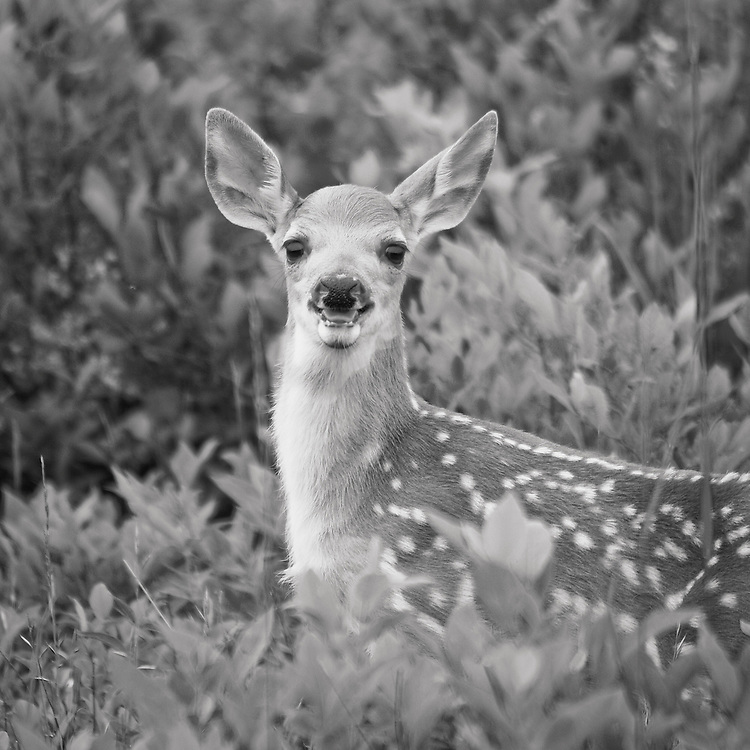 Black and white image of a young white-tailed deer fawn (Odocoileus virginianus) looking on in surpirse after almost running into the back of the photographer, Big Meadows, Shenandoah National Park, Virginia.