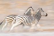 Zwei rennende Zebras (Equus burchelli) aus der Boteti Region beim Khumaga Camp im Makgadikgadi Pans Game Reserve, Botswana