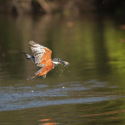 Ringed Kingfisher in Flight with Fish