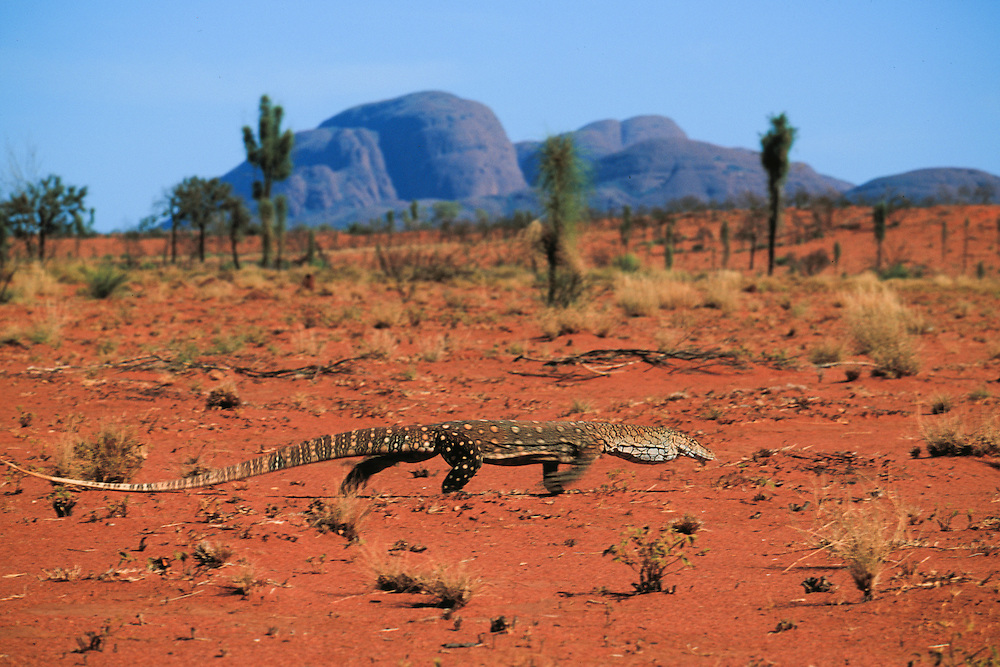 Australia, Uluru-Kata Tjuta National Park, Perentie (Varanus giganteus)