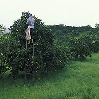 Hombre recogiendo naranja en sembradio, Nirgua, Yaracuy, Venezuela.