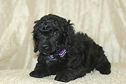 A one month old black miniature poodle puppies facing camera.