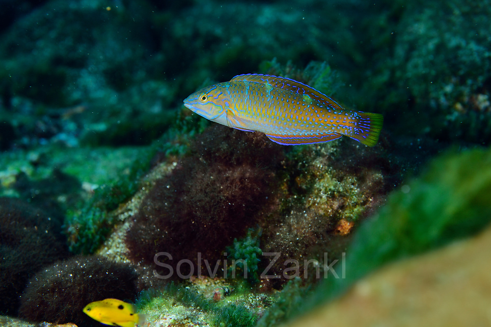 Puddingwife wrasse (Halichoeres radiatus) Central equatorial Atlantic Ocean, Saint Peter and Saint Paul Archipelago, Brazil #STP17 [first published through bioGraphic, a program of the California Academy of Sciences] |