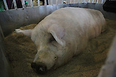 700kg Pig seen during agriculture fair