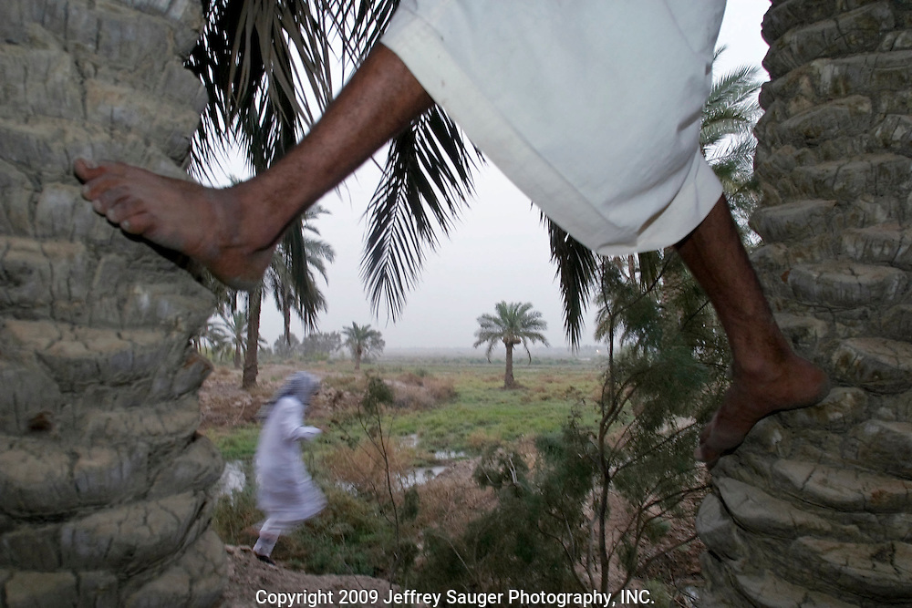 Ali Al-kasid, a member of Al Hacham Al-kasid Tribe picks dates as his cousin Emad Al-Kasid runs through the swamp at the family's small farm in the village of Suq ash Shuyukh about 20 miles southeast of Nasiriyah, Iraq, Tuesday, July 29, 2003.