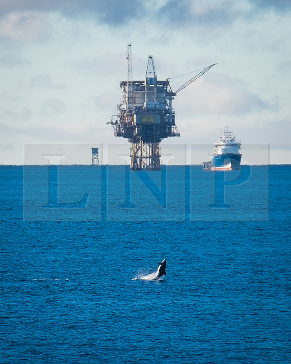 © Licensed to London News Pictures. 20/11/2016. Wick, UK.  A dolphin (believed to be a White-Beaked Dolphin) swimming near the Beatrice Oil platform and Supply vessel 'Ben Nevis' in the Moray Firth in Scotland this morning, 20th November 2016.  Photo credit: Rob Arnold/LNP
