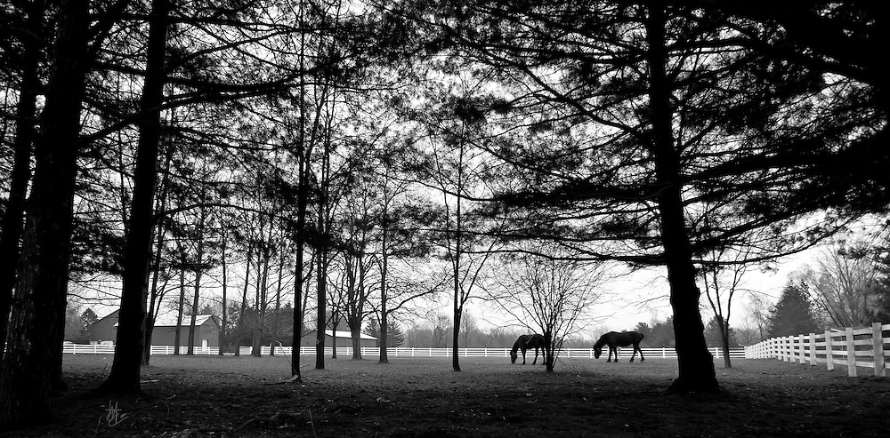 SUBJECT: Percheron draft horses. IMAGE: A black and white silhouette of a white fence paddock enclosure and Percheron draft horses through the pine trees.