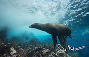 A Galapagos sea lion swims underwater near Champion islet, part of the Galapagos islands of Ecuador.