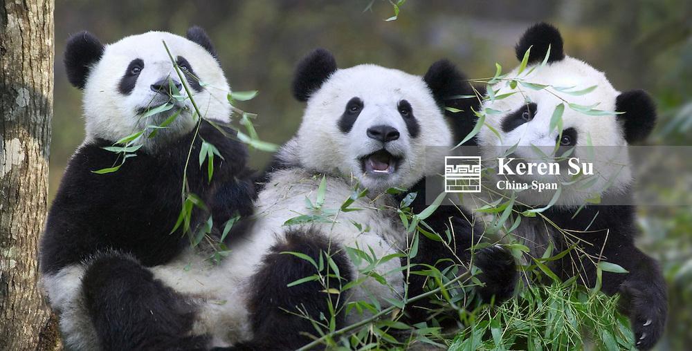 Three panda cubs eating bamboo together, Wolong Panda Reserve, Sichuan, China