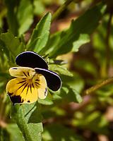 Johnny Jump Up Flower. Image taken with a Nikon N1V3 camera and 70-300 mm VR lens.