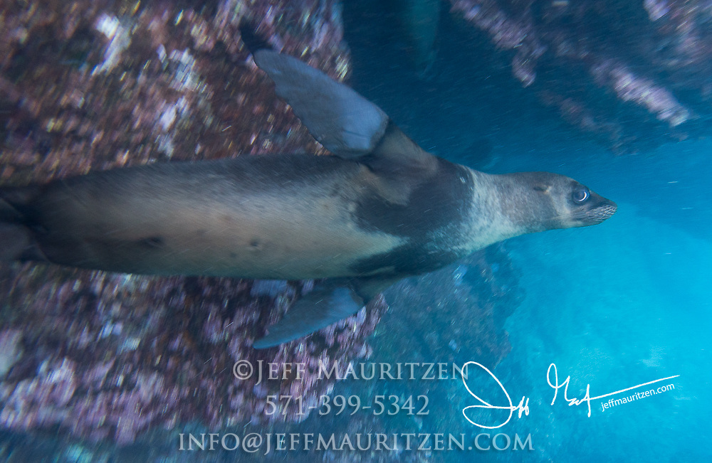 A Galapagos sea lion swims underwater off the coast of Espanola island, Galapagos islands, Ecuador.