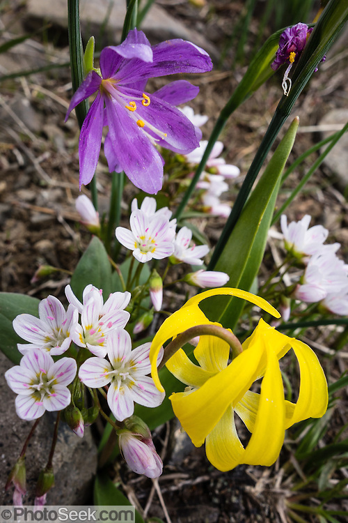 Flowers of purple Grasswidow, yellow Glacier Lily and white (pink striped) Columbian lewisia bloom together on Table Mountain Trail #1209, near Blewett Pass, Wenatchee National Forest, Washington, USA. Erythronium grandiflorum is commonly known as glacier lily, yellow avalanche lily, and dogtooth fawn lily. // Grasswidows have the scientific name Olsynium douglasii, with synonyms Sisyrinchium douglasii or Sisyrinchium grandiflorum, in the genus Olsynium, native to western North America from southern British Columbia south to northern California, and east to northwest Utah. Grasswidow is a perennial herbaceous bulbiferous plant which grows 10-40 cm tall with flowers having six purple tepals. // The Columbian lewisia (scientific name: Lewisia columbiana, in the purslane family) is native to western United States and British Columbia in rocky mountain habitats. Several stems rise up to 30 centimeters tall, each bearing up to 100 flowers. The flower has 4 to 11 petals, each up to about a centimeter in length and oval with a notched tip. The petals are white to pale pink, usually with sharp dark pink veining (stripes).