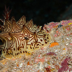 Kermadecs Marine Reserve Halgerda sp Nudibranch, Unknown