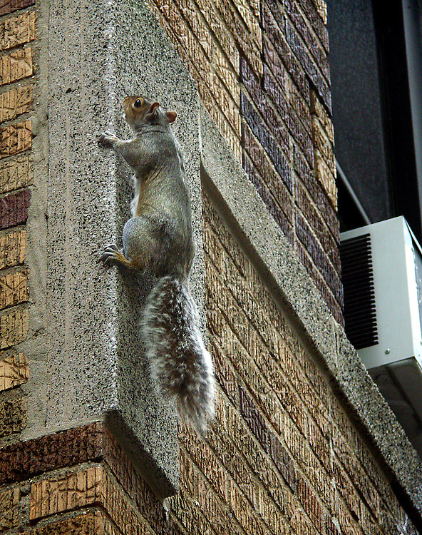 This is spider squirrel! Climbing straight up the side of a building!