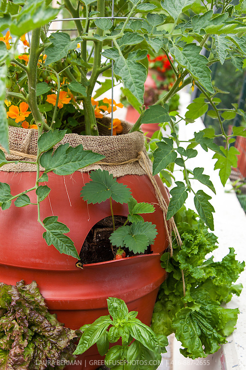 Nasturtiums,  tomatoes, lettuces, strawberries and basil  plants growing out of the top and from holes cut in the sides of 220 liter plastic barrel.