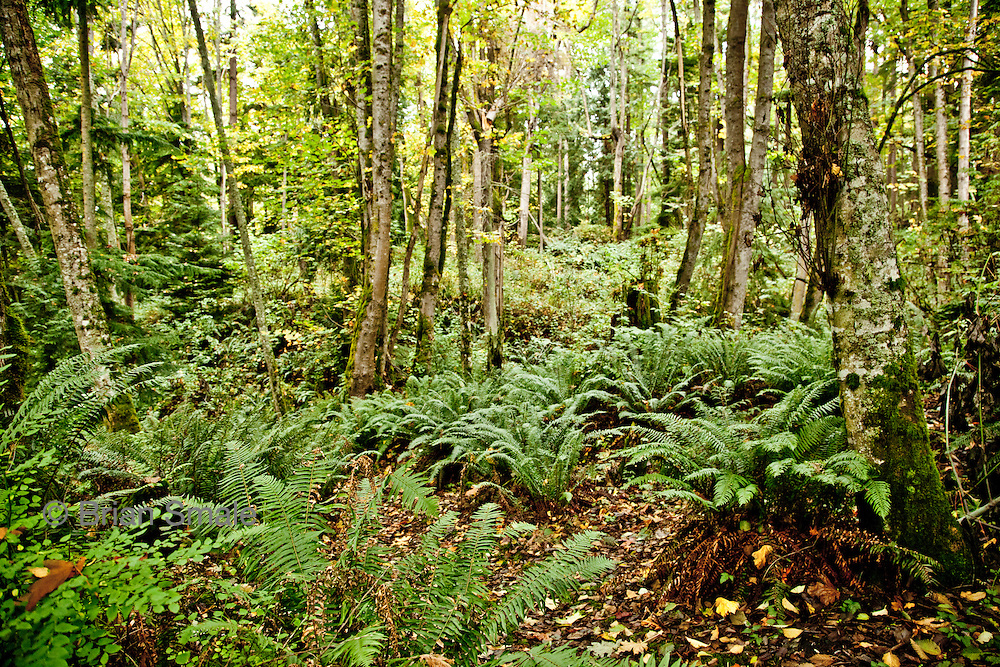 Forest behind Jack Archibald's home on Camano Island, typical of where Colton Harris-Moore may have hidden while avoiding capture.