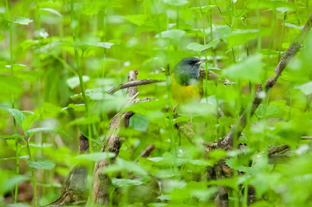 Mourning Warbler, Geothlypisphiladelphia, male, Magee Marsh, Ohio