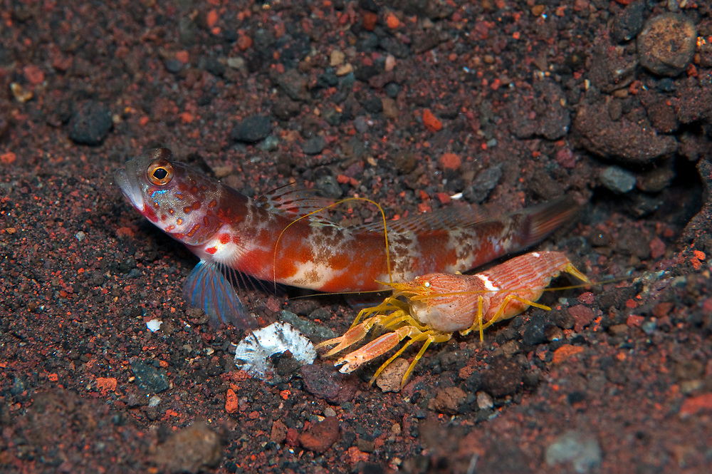 Blotchy Shrimp Goby (Amblyeleotris periophthalma) with accompanying Alpheid Shrimp Goby, photographed in Tulamben, Bali, Indonesia. These partner species can be found in rubble areas adjacent coral reefs in the tropical Indo-Pacific.