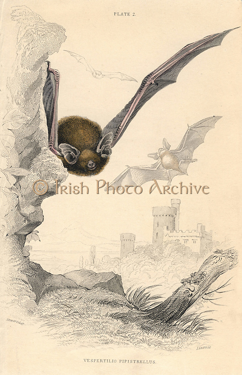 Pipistrelle Bat (Pipistrellus pipistrellus), small mouse-like flying mammal.From 'British Quadrupeds', W MacGillivray, (Edinburgh, 1828), one of the volumes in William Jardine's Naturalist's Library series. Hand-coloured engraving.