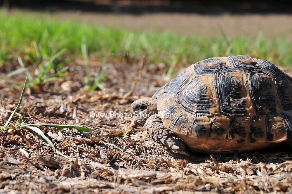 Close up of a Spur-thighed Tortoise or Greek Tortoise (Testudo graeca) in a field. Israel Summer September