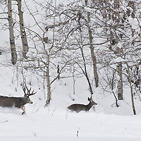 trophy muledeer buck chases doe during rut though deep snow winter cold running deer