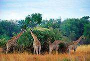 A herd ofGiraffes  in Moremi National Park , Botswana