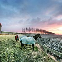 """Nederland,Emmadorp,Land van Saaftingen ,16 december 2007..Ondergaande zon in de Hertogin Hedwigepolder..Het Verdronken Land van Saeftinghe is een getijdengebied aan de uiterste oostkant van Zeeuws-Vlaanderen op de grens met België enkele kilometers stroomafwaarts van Antwerpen in het estuarium van de Schelde. Het gebied heeft een oppervlakte van 3484 hectare dat grenst aan het water van de Westerschelde. Ongeveer 70% van dat oppervlak is begroeid met schorplanten. De rest bestaat uit zandplaten, slikken en geulenstelsels..Saeftinghe is een Zeeuws natuurmonument van grote klasse en tegelijk ook een soort van open lucht tentoonstelling: nergens anders meer in West-Europa is op zo'n grote schaal te zien en te ervaren hoe het Deltagebied is ontstaan en is geboetseerd uit de elementen schor, slik en zand. .Ieder tij overspoelt het brakke water een groot deel van het gebied. De flora is hieraan geheel aangepast en uniek. Voor duizenden vogels is Saeftinghe een gebied van internationaal belang. Niet alleen als broedgebied, maar ook als overwinterings- en rustgebied. Sunset in the Hertogin Hedwigepolder with three horses..The polder is due to be """"given back"""" to nature, let the sea in and drown it....Foto:Jean-Pierre Jans"""
