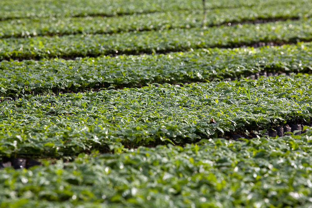 Patrocinio_MG, Brasil...Viveiro de mudas de cafe em patrocinio. ..The nursery seedlings of coffee in Patrocinio...Foto: LEO DRUMOND / NITRO