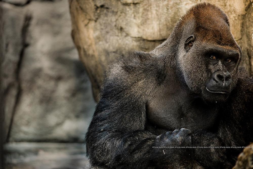 Gorilla gorilla.