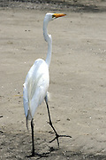 Great Egret walking on a Jekyll Island Beach