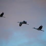 Sandhill Crane trio departs in a line formation