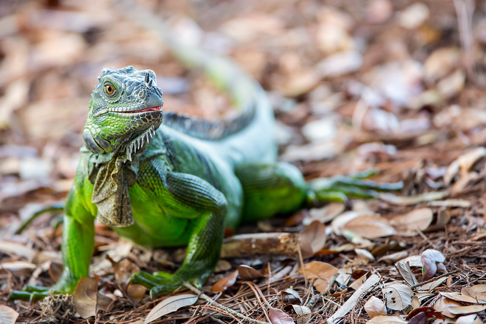 The Green Iguana, Iguana iguana, an invasive species originally from South and Central America, is now established in southern Florida, including in the Wakodahatchee Wetlands, a preserve in suburban Delray.