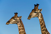 Giraffe (Giraffa camelopardalis) Males fighting<br /> Marakele Private Reserve, Waterberg Biosphere Reserve<br /> Limpopo Province<br /> SOUTH AFRICA<br /> RANGE: Savanna regions in scattered isolated pockets of Sub-Saharan Africa.