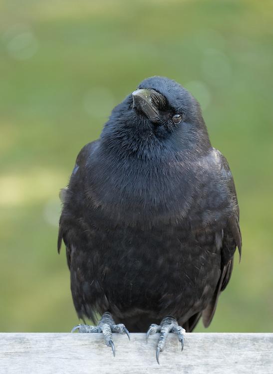 Crow tilting his head.