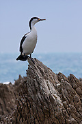 Pied Cormorant, New Zealand