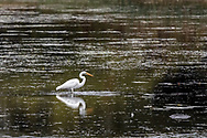 A Great Egret (Ardea alba) catching a small fish in a marsh along St. Lawrence Lake in Ontario, Canada.  Photographed from West Woodlands Island in the Parks of the St. Lawrence.  The Great Egret is also known as the Common Egret and the Large Egret.
