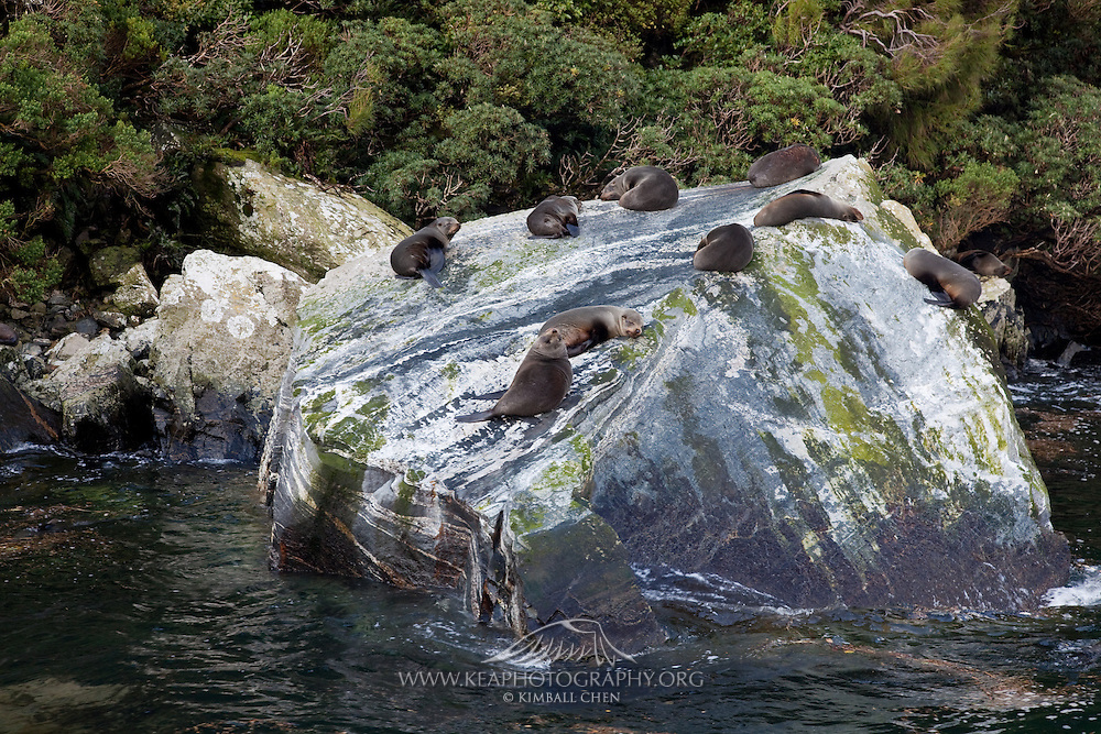 New Zealand Fur Seal, Milford Sound, New Zealand